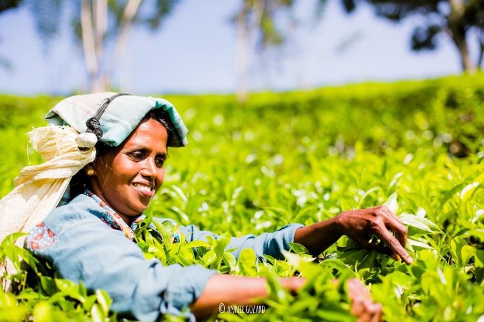 une femme travaille dans une plantation de thé