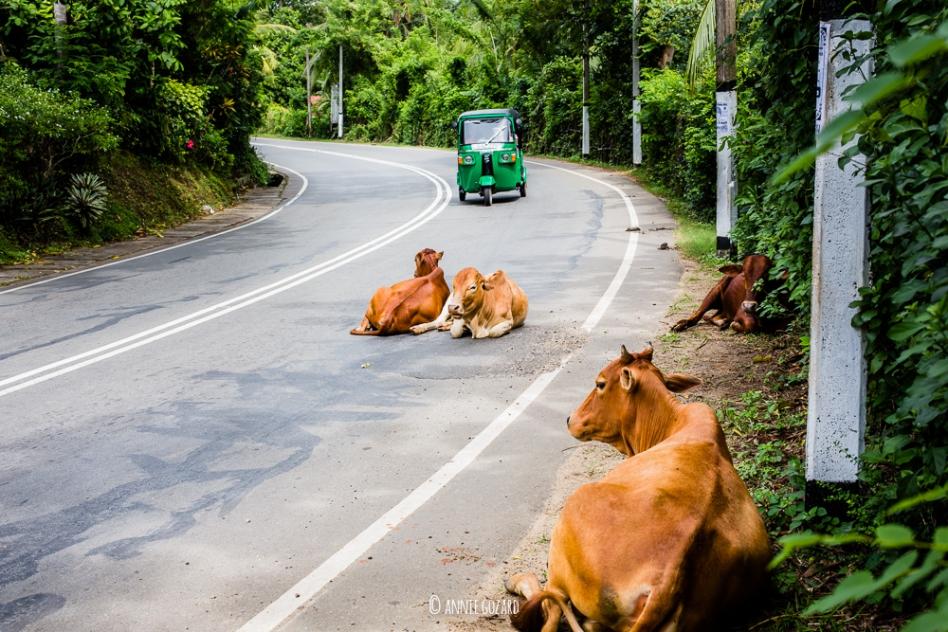 un tuk-tuk arrive sur des vaches qui prennent du bon temps sur la route
